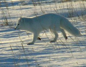 A photo of arctic fox walking in the snow tundra.