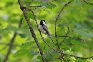 Black-capped chickadee in alert posture on a branch with green vegetation in the background.