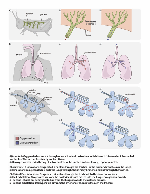 This figure shows air flows across respiratory surfaces in insects, mammals, and birds and explains how the air moves in each breath.