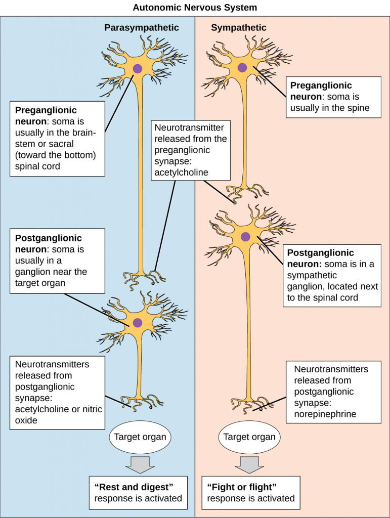 Organization of the parasympathetic and sympathetic autonomic nervous system.