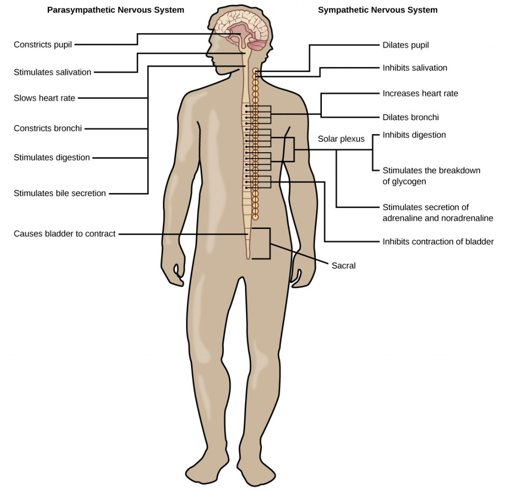 Sympathetic and parasympathetic nervous system in humans.